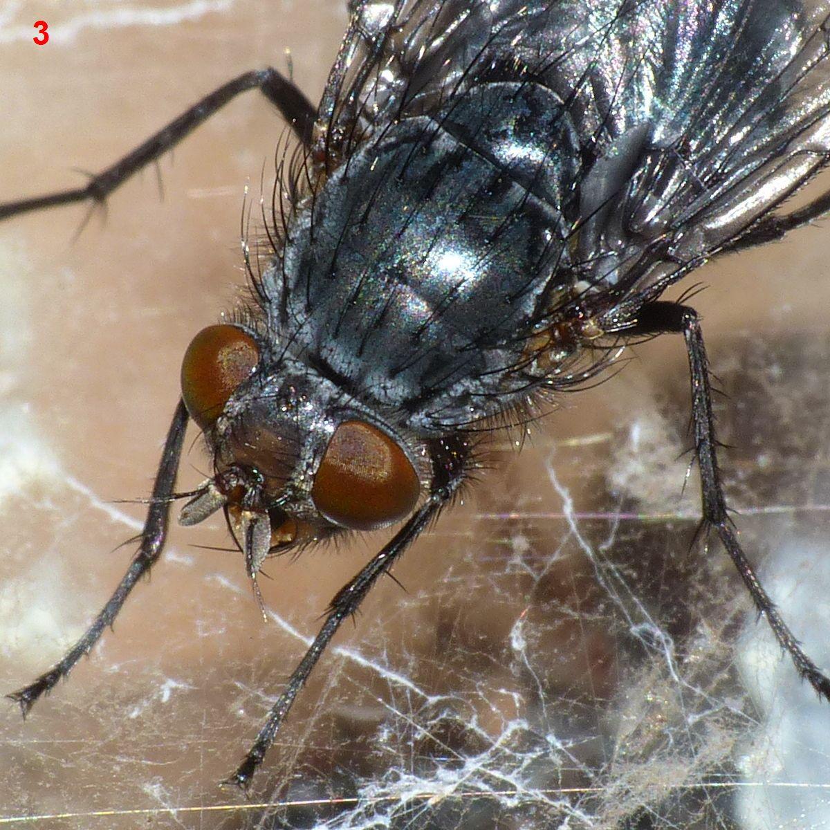 foto-upload.de/diptera/190110/Calliphora_sp_6mm_W4.jpg